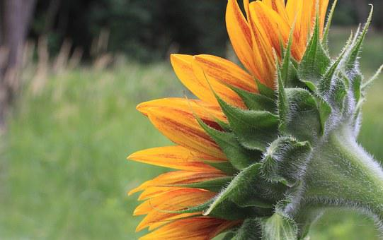 Sunflower, Petals, Head, Back, Backside, Green, Yellow