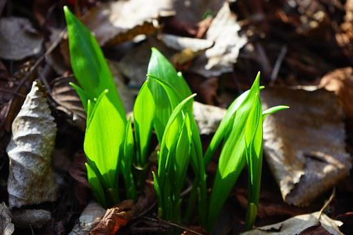 Leaves, Green, Sprout, Bear's Garlic, Gypsy Spring