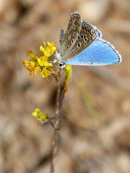 Blue Butterfly, Polyommatus Icarus, Libar, Beauty