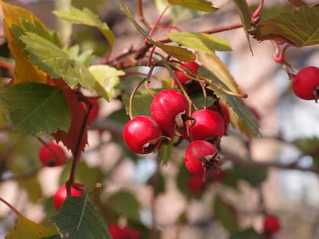 Hawthorn, Plant, Berry, Nature, Fruit, Leaves, Red