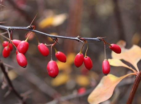 Barberry, Berry, Spikes, Bush, Autumn, Leaves, Branch