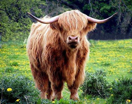 Cow, Bull, Horns, Coat, Shaggy, Pasture, Field, Grass