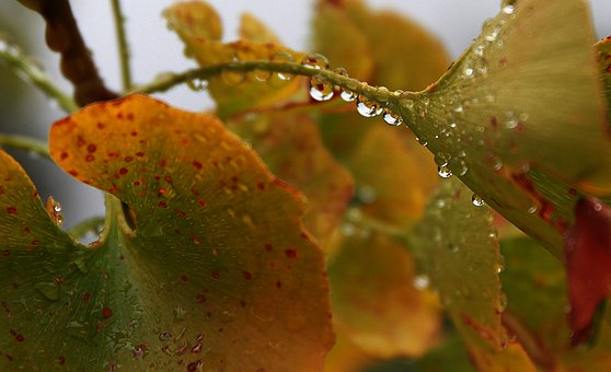 Water Drops, Drip, Fall, Leaves, Rain, Drop, Liquid