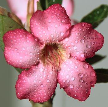 Flower, Pink, Drops, Rain, Macro, Pretty, Plant, Violet