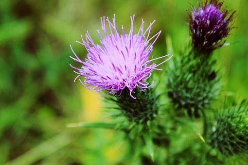 Thistles, Flower, Marianum, Plants, Nature, Wild