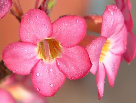 Flower, Rosa, Flowers, Yellow, Pink, Petals, Macro