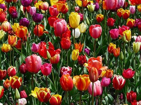 Tulips, Tulpenbluete, Flowers, Tulip Field, Colorful