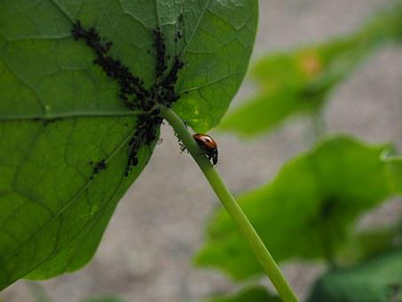 Ladybug, Lice, Full, Eat, Hunting, Coccinellidae