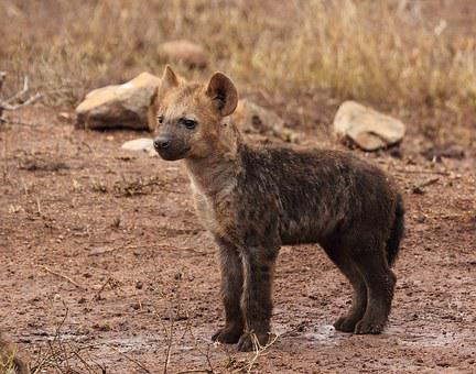 Hyene Puppy, Hyene, Wildlife, Hyaena, Hyaena Pup