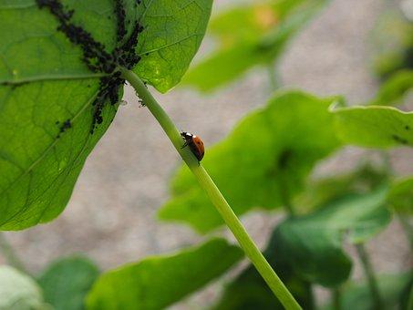 Ladybug, Lice, Eat, Hunting, Coccinellidae, Beetle
