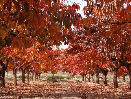 Autumn Leaves, Leaves Of Persimmons, Fruit Tree, Autumn