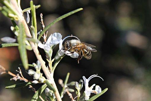 Bee, Honey, Rosemary, Flowers, Flowering, Nature, Macro