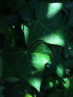 Light, Shadow, Wind, Ivy, Grass, The Vine, Sun