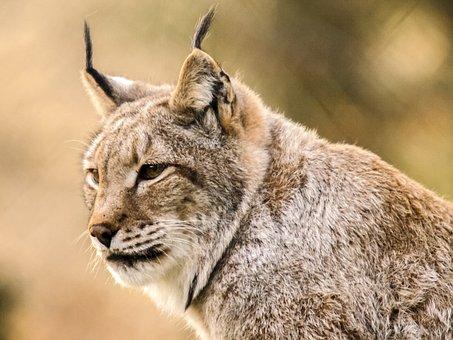 Lynx, Mammal, Animal, Nature