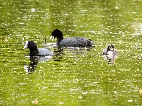Moorhen, Water Bird, Bird, Nature, Animal