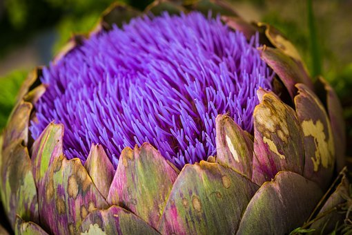 Artichoke, Flower, Fruits, Blossom, Bloom, Nature