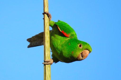 Maritaca, Pscitacídeo, Cocota, Green, Bird, Animal