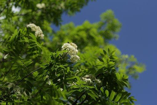 Flowers, Rowan, Blooming Mountain Ash