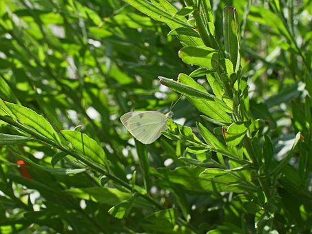Cabbage White Butterfly, Butterfly, Insect, Animal
