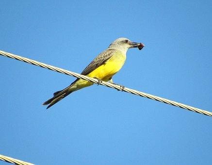 Bem-te-vi, Bird, Nature, City, Power Supply