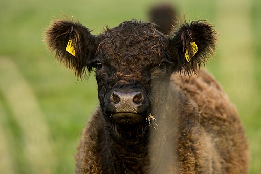 Calf, Cow, Pasture, Nature, Cute, Agriculture, Beef