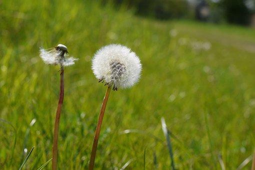 Dandelion, Flower, Nature, Flowers, Plant, Spring