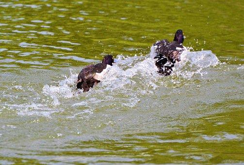 Duck, Water Bird, Row Pension, Duck Bird, Pond, Bird