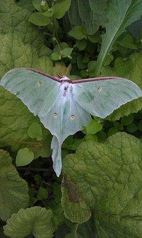 Saturnia Luna, Actias Luna, Essential Moth, Butterfly