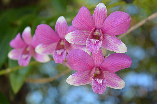 Orchid, Thai Orchid, Flower, Flowers