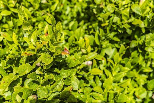 Blueberry Bushes, Bush, Green, Heidelbeerstrauch