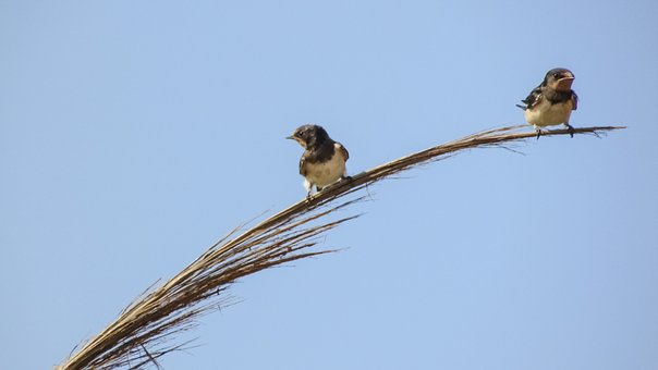 Swallows, Resting, Branch, Reed, Nature, Summer