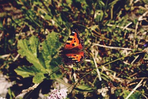 Butterfly, Little Fox, Nature, Animal, Grass