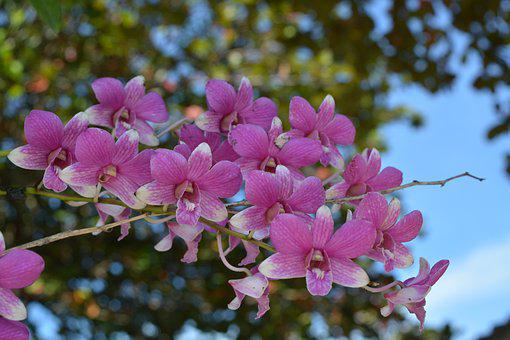 Orchid, Thai Orchid, Flower, Flowers, Profusion Pink