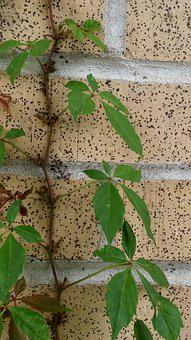 Vine, Leaves, Leafy, Over Grown, Wall, Climb, Crawl
