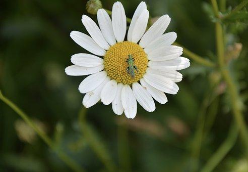 Marguerite, Flower, Petals, Flowering, Nature, Bouquet