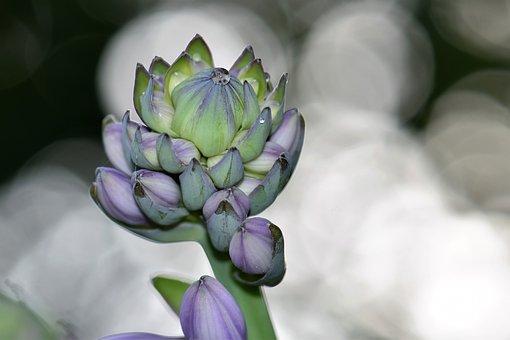 Plantain Lily, Blossom, Bloom, Flower, Plant, Purple