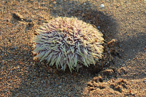 Sea Urchin, Shore, Beach, Marine, Sand, Seaside, Nature