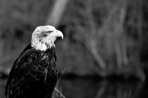 Adler, Raptor, Bird, Bird Of Prey, Observing, Sitting