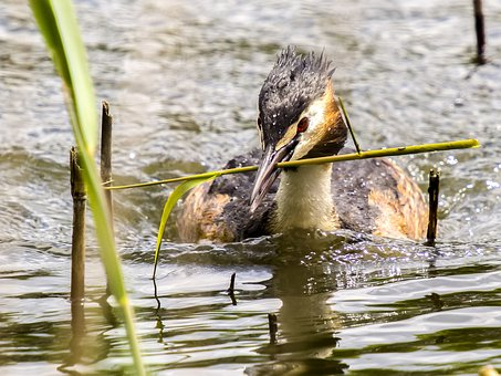 Great Crested Grebe, Divers, Water Bird, Nature, Bird