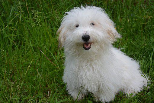 Coton De Tulear, Dog, White Dog, Animal