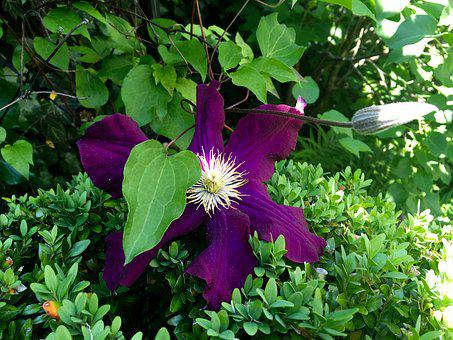 Clematis, Purple, Bloom, Blossom, Bloom, Flower