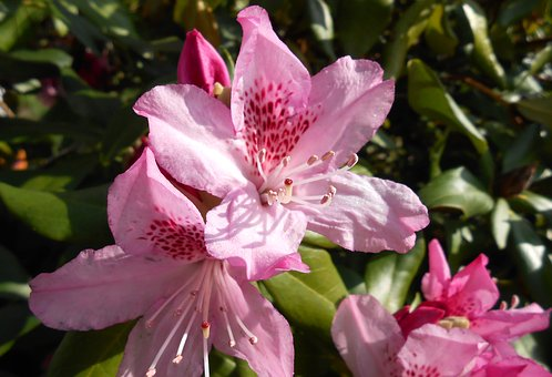Rhododendron, Blossom, Bloom, Open, Pink, Garden