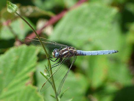 Blue Dragonfly, Stem, Greenery, Winged Insect, Wetland