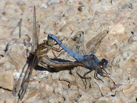 Dragonflies, Coupling, Copulation, Insect Breeding