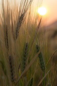 Wheat, Field, Crop, Cereal Plant, Agriculture, Barley