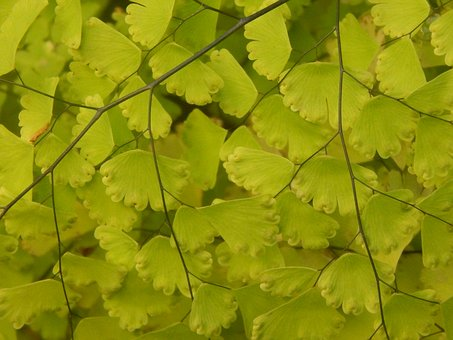 Culantrillo, Plant, Fern, Leaves, Green, Folia