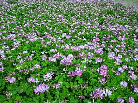 Vetch, Grass, Flowers And Plants, Safflower Grass