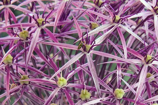 Starlight-lauch, Allium Cristophii, Garden Ball-lauch
