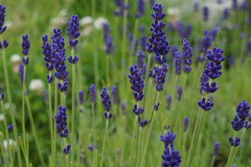 Lavender, Herbs, Nature, Lavender Flowers, Fragrance