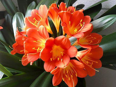 Klivie, Flower, Houseplant, Clivia, Amaryllis Plant